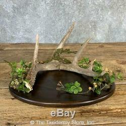 #21234 P Set of 35 Walnut Table Centerpieces with Whitetail Deer Antler